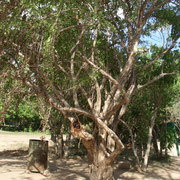 Ebenholz- Baum