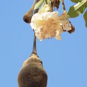 Baobab- Frucht