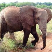 Elefant in weiter Wildbahn