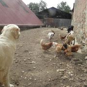 La basse cour......Poules ,chevres...et un Canard.......!!!!
