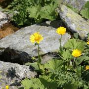 Doronic à grandes fleurs Lac de Rosset 17 juillet 2011