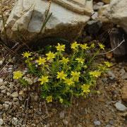 Saxifrage jaune