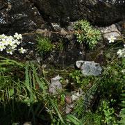 Androsace à fleur obtuse Pointe d'Ireuse 9/6/2016
