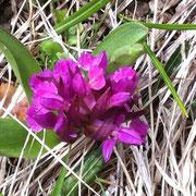 Orchis sureau