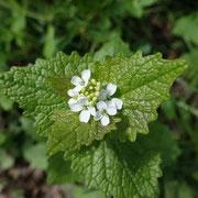 Menthe à fleurs blanches Etang de Mouille marin 28/04/2016
