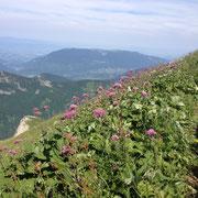 Adenostyle mont Trelod