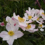 Anémone à fleur de narcisse Le Trélod 21 juin 2015