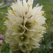 Campanule thyrsoide
