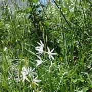 Phalangère à fleur de lys La Croix Jean Claude 3/7/2016
