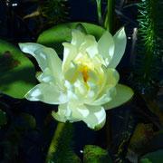 Seerose in unserem Teich