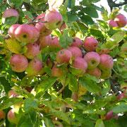 seht, wie euch die Äpfel  förmlich anlachen