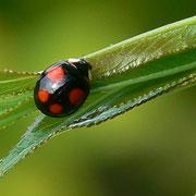 Coccinelle asiatique (coléoptère)