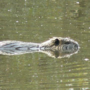 Le Ragondin (Myocastor coypus) ; Marais du Grand Hazé (Briouze, Orne)