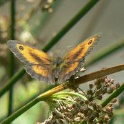 Papillon, Amaryllis (Pyronia tithonus) ; Marais du Grand Hazé (Briouze, Orne)