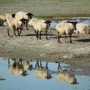 Baie du Mont-Saint-Michel (Manche) : moutons des prés salés