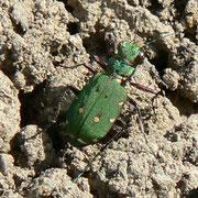 Cicindèle (coléoptère)