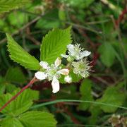 Tourbière de la Lande Mouton, fleurs de mûres sauvages