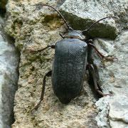 Longicorne (coléoptère)