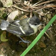 La mésange charbonnière oisillon tombé du nid