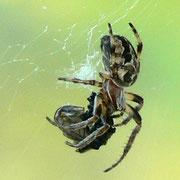 Araignée ; marais du Grand Hazé (Briouze, Orne)