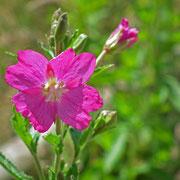 Tourbière de la Lande Mouton, épilobe à grande fleur