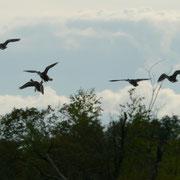 Envol de canards ; Marais du Grand Hazé (Briouze, Orne)