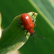 Criocère du lys (coléoptère)