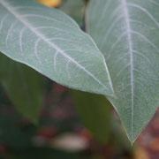 Pelzige Blätter im botanischen Garten
