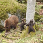 Bärenbande im Nationalpark Bayerischer Wald