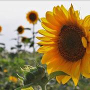 Der Bayerische Wald - wie ein Bett im Sonnenblumenfeld