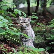 Junge Wildkatze im Nationalpark Bayerischer Wald