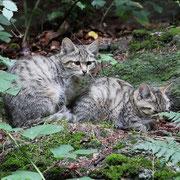 Junge Wildkatzen im Nationalpark Bayerischer Wald
