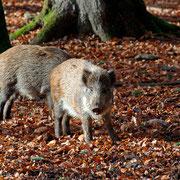 Sie gehören zu unseren Lieblingen - Wildschweine im Nationalpark