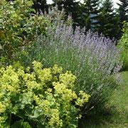 北国の夏の代表花、ラベンダーとアルケミラモリス。