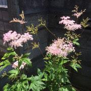 ふんわりとした花をつけるフィリペンデュラ(キョウガノコ)。ナチュラルなお庭に合います。