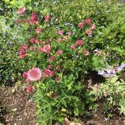 アストランティアマヨール。バラ主体のエレガントな庭にもナチュラルな庭にも合います。