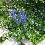 ビンカミノール。春に咲くムスカリと合わせて。木の足元、下草に。