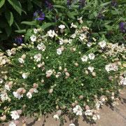 シレネ・ユニフローラ。可愛らしい花がたくさんつきます。