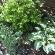 シェードガーデンを明るくしてくれる斑入りのホスタ(ギボウシ)。色々な種類があります。