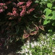 濃い銅葉のメギとペッシカリア。手前の白色の花木はヒメウツギ。