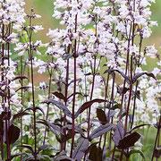 ペンステモン・ハスカーレッド。すーっとした茎に薄ピンクの花が咲きます。