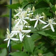 センニンソウ。花が寂しくなる初秋の頃お庭を華やかにしてくれます。