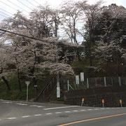 額部神社の桜