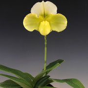 Paph. Emerald Future 'White & Green' GM/JOGA