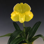 Paph. Amarillo Star 'Moonshine' GM/JOGA