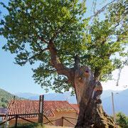 Roble milenario de Bermiego (Quirós) Monumento Natural. El Sabil. Senda del Oso