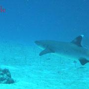 ... ein kleiner Weißspitzen-Riffhai noch dazu...