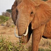 Eléphant au Tsavo (Kenya)