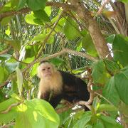 SINGE CAPUCIN DANS LE PARC MANUEL ANTONIO COSTA RICA