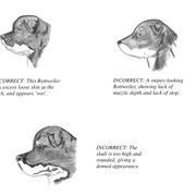 Bistolrot--rottweiler kennel